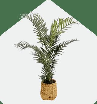 Areca plain in woven basket