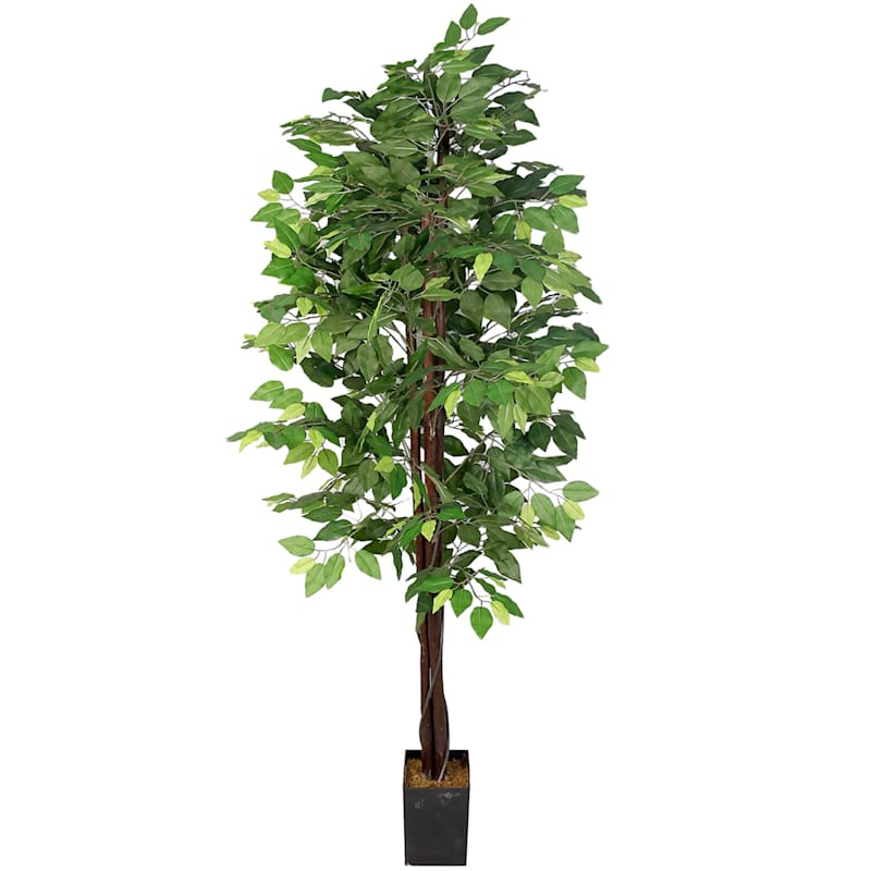 6 ft. Green Ficus