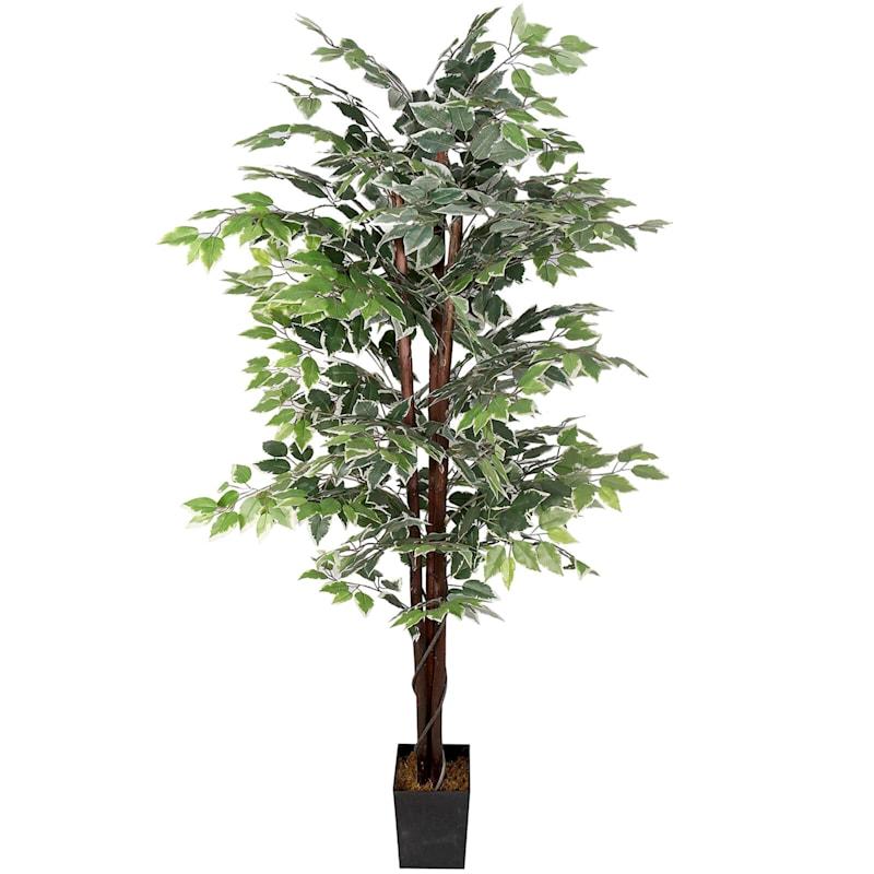 6 ft. Green/White Ficus
