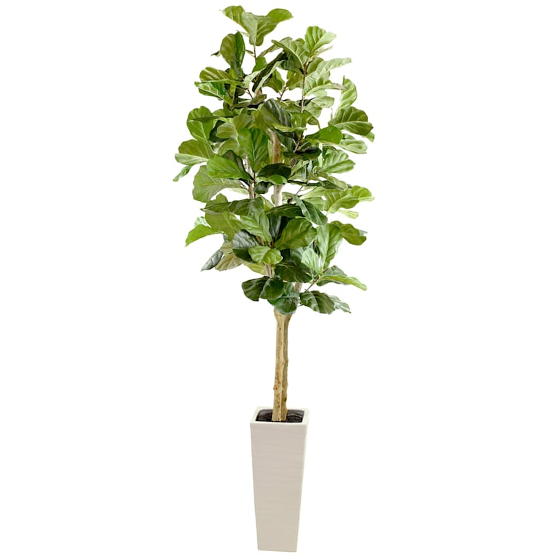 7 ft. Fig In White Square Pot
