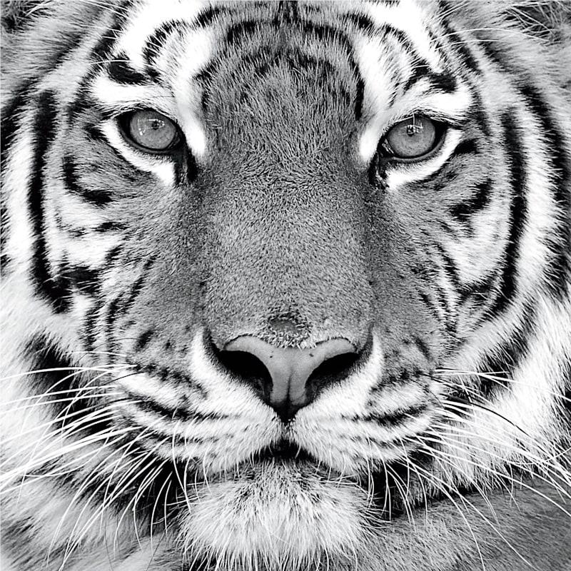 30X30 Tiger Canvas Art