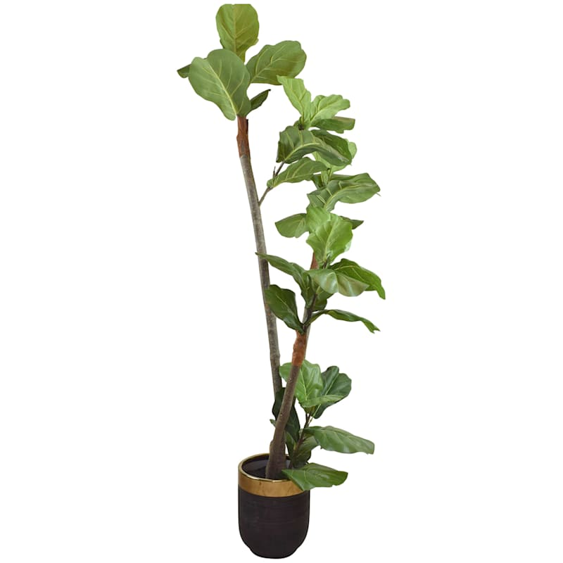 6 ft. Fig In Black/Gold Container