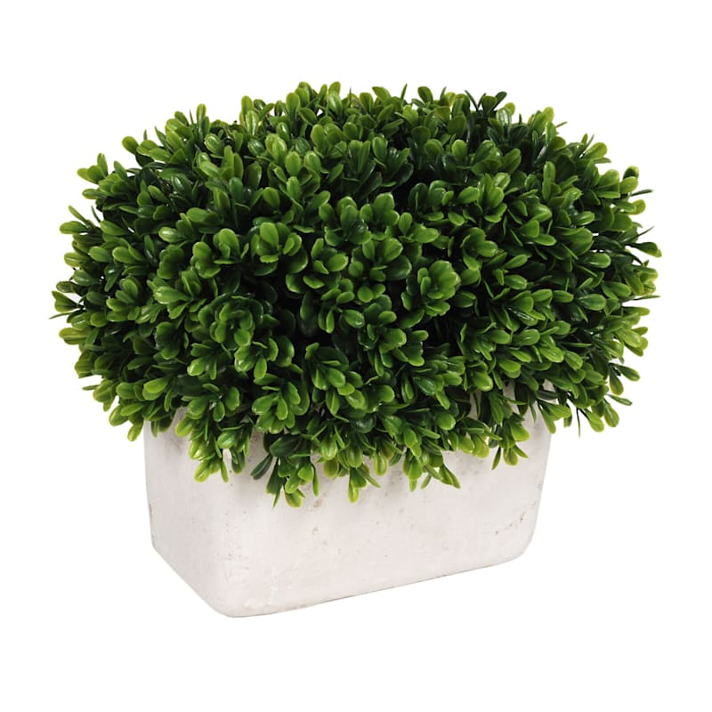 8.5in. Boxwood In White Pot