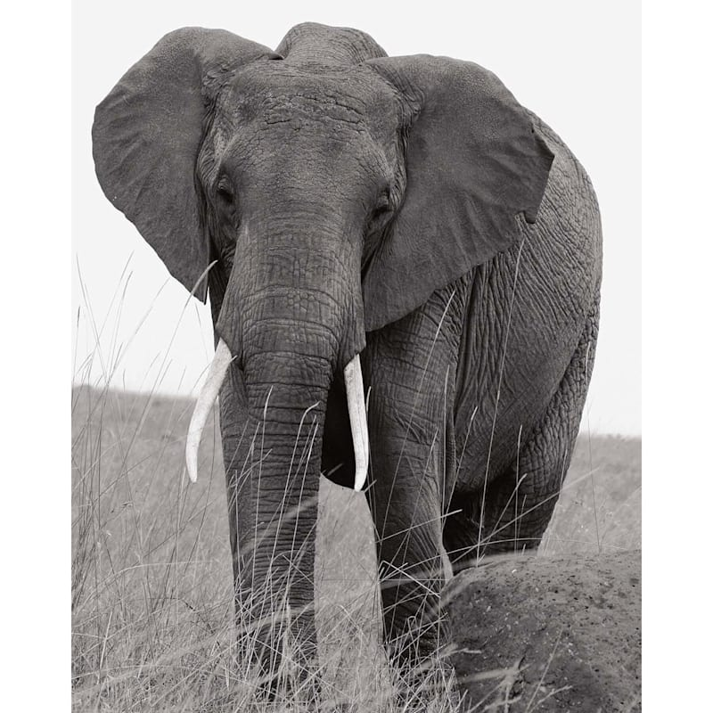 16X20 Lone Elephant Canvas Art